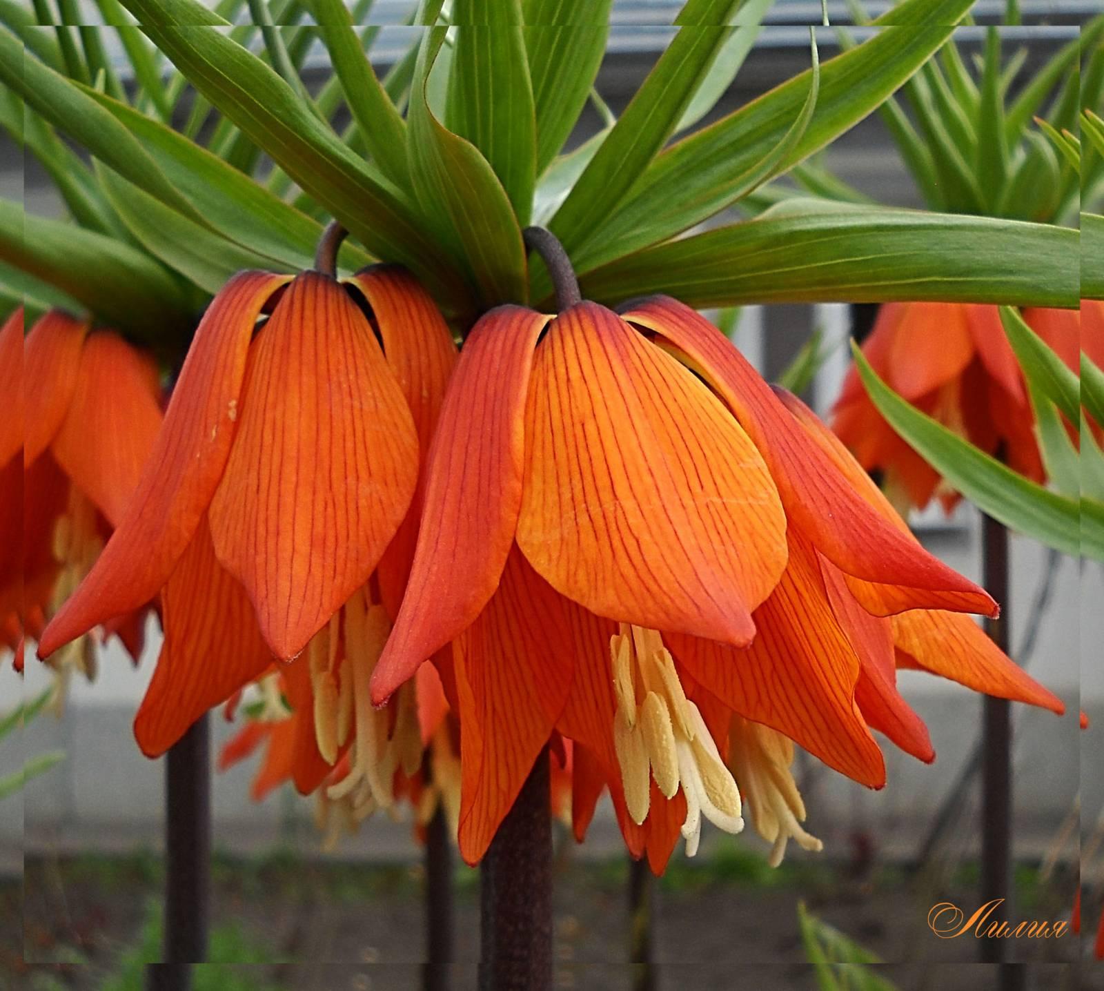 королевская корона фото цветок